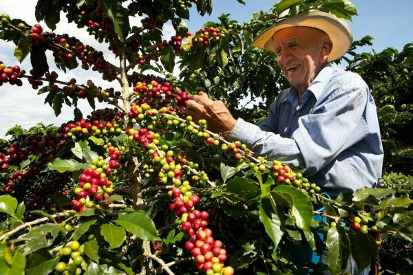 sản lượng ảnh hưởng đến giá cà phê